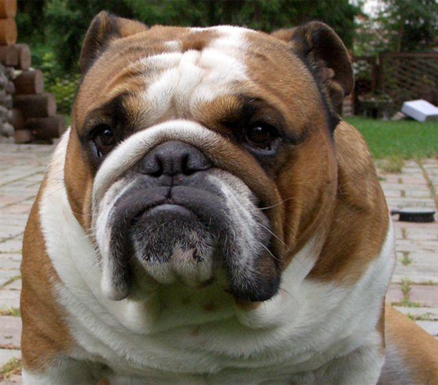 Бишон фризе описание породы фото цена щенков отзывы