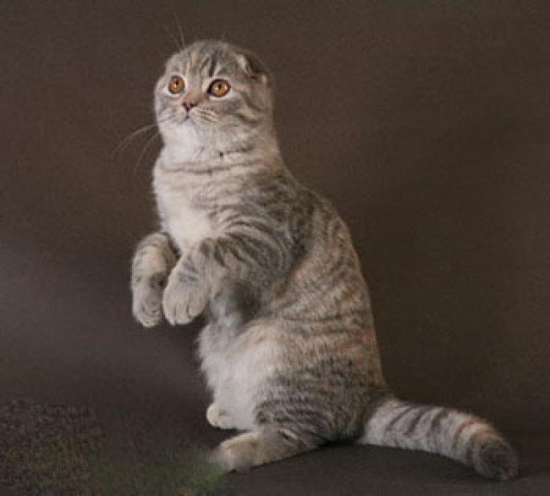 Бордерколли фото и описание характер породы