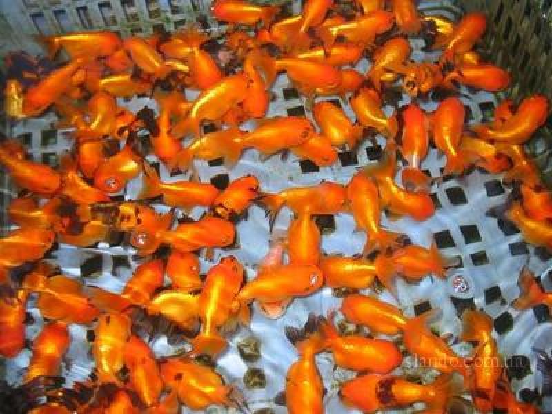 как разводить золотую рыбку в домашних условиях видео