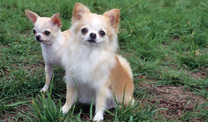 Топ10 самых дорогих пород собак в мире