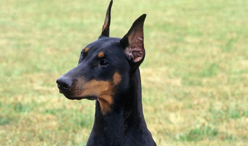 Big Black Gaurd Dog Cropped Ears
