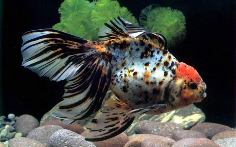 Что делать, если рыба съедает других рыб в аквариуме