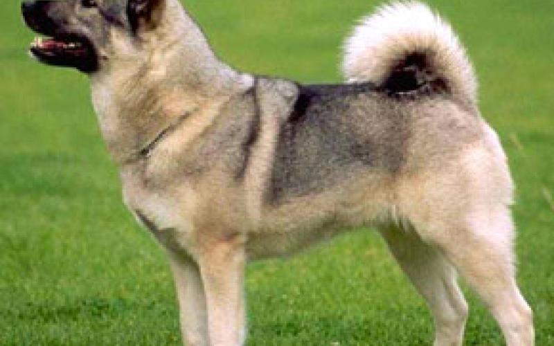 Кожный зуд у собак