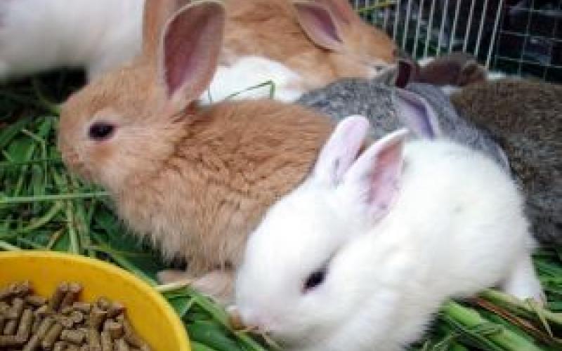 Разведение кроликов. Беременность и роды у кроликов