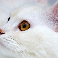 Ангора турецкая (ангорская кошка)