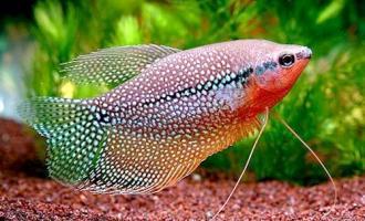 Что делать, если рыба поедает растения в аквариуме