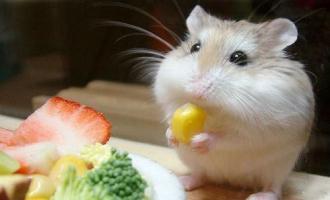 Чем и как кормить хомячка