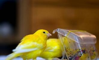 Чем и как кормить канареек